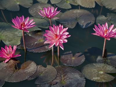 Burma, Sittwe, Beautiful Lotus Flowers Bloom in Rainwater Pond on Outskirts of Sittwe, Myanmar