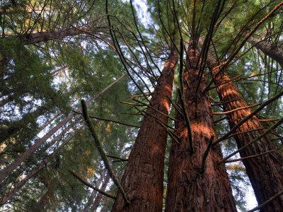 California, Redwood National Park, Redwood Tree Forest, USA