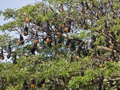 Burma, Rakhine State, Fruit Bats Spend the Day Hanging from the Branches of Large Trees, Myanmar