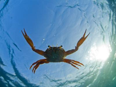 Djibouti, A Red Swimming Crab Swims in the Indian Ocean