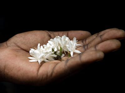 Coffee Flower Is Held Delciately in the Palm of a Sao Tomense Hand, Sao Tome
