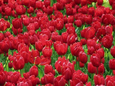 Madrid, Tulips, Spain