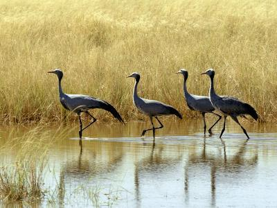 Four Blue Cranes Cross a Flooded Pan on the Edge of the Etosha National Park