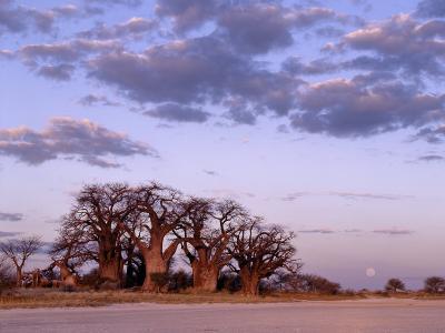 Full Moon Rises over Spectacular Grove of Ancient Baobab Trees, Nxai Pan National Park, Botswana