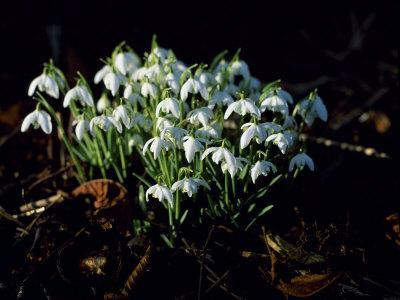 Snowdrops, Lincolnshire, England