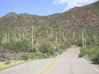 Saguaro Cacti, Saguaro National Park, Tuscon Mountain District West Unit, Tucson, Arizona