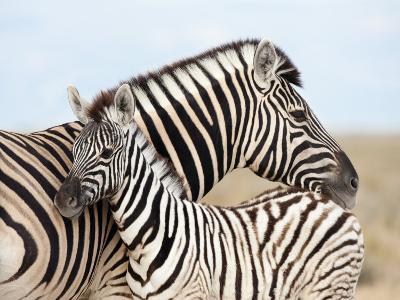 Burchell's Zebra, with Foal, Etosha National Park, Namibia, Africa