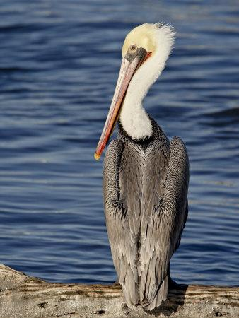American White Pelican, Sonny Bono Salton Sea National Wildlife Refuge