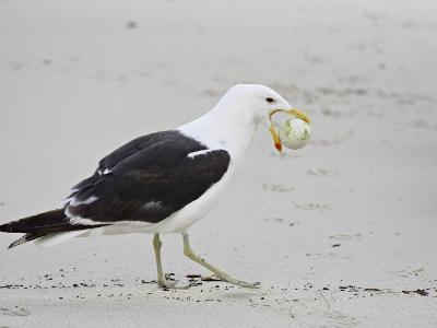 Cape Gull with African Penguin Egg, Boulders Beach