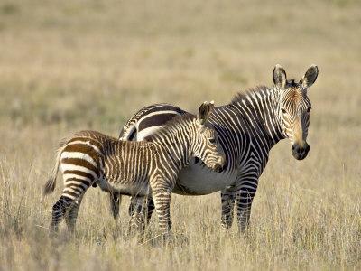 Cape Mountain Zebra Mother and Foal, Mountain Zebra National Park