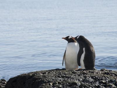 Gentoo Penguins at Brown Bluff, Antarctic Peninsula, Antarctica, Polar Regions