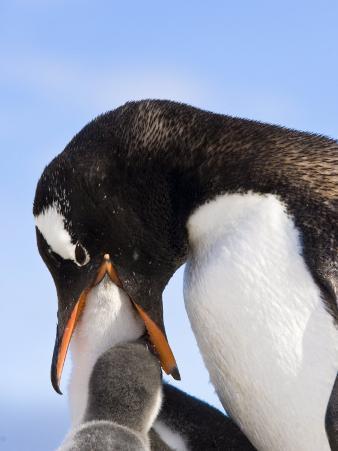 Gentoo Penguin Family Neko Cove, Antarctica, Polar Regions