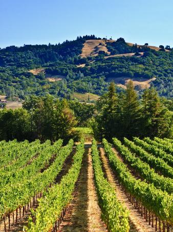 Grape Vines in Northern California Near Mendocino