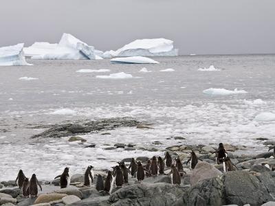 Gentoo Penguins, Cuverville Island, Antarctic Peninsula, Antarctica, Polar Regions