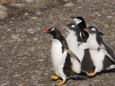 Gentoo Penguins, Gourdin Island, Antarctic Peninsula, Antarctica, Polar Regions