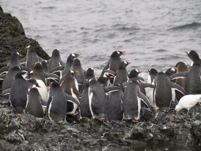 Gentoo Penguins, Hannah Point, Livingstone Island, South Shetland Islands, Polar Regions
