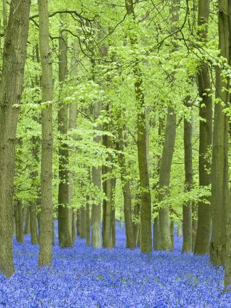 Spring Bluebells in Beech Woodland, Dockey Woods, Buckinghamshire