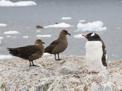 Brown Skua and Gentoo Penguin, Cuverville Island, Antarctic Peninsula, Antarctica, Polar Regions