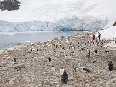 Gentoo Penguins, Neko Harbour, Antarctic Peninsula, Antarctica, Polar Regions