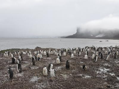 Chinstrap Penguins, Hannah Point, Livingstone Island, South Shetland Islands