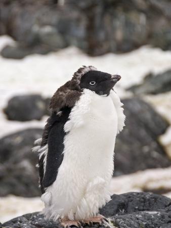 Adelie Penguin Moulting, Yalour Island, Antarctic Peninsula, Antarctica, Polar Regions