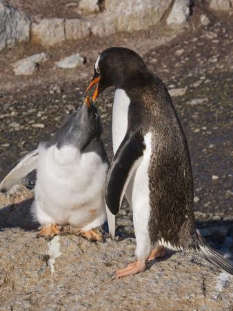 Gentoo Penguin Feeding Large Chick, Gourdin Island, Antarctic Peninsula
