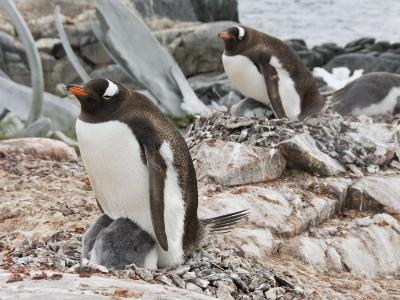 Gentoo Penguin with Young Chicks, Jougla Point Near Port Lockroy, Antarctic Peninsula