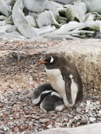 Gentoo Penguin with Young Chicks, Jougla Point Near Port Lockroy, Antarctic Peninsula