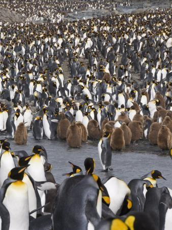 King Penguins with Brown Feathered Chicks, St. Andrews Bay, South Georgia, South Atlantic