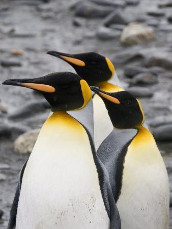 King Penguins, Salisbury Plain, South Georgia, South Atlantic