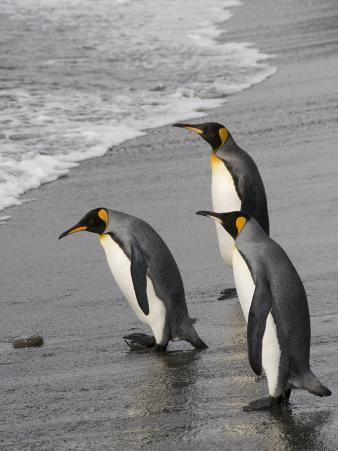 King Penguins, St. Andrews Bay, South Georgia, South Atlantic