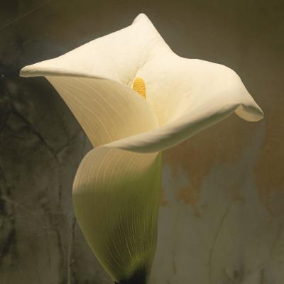 Calla Lily (Zantedeschia Aethiopica), Spring, Oregon, North America