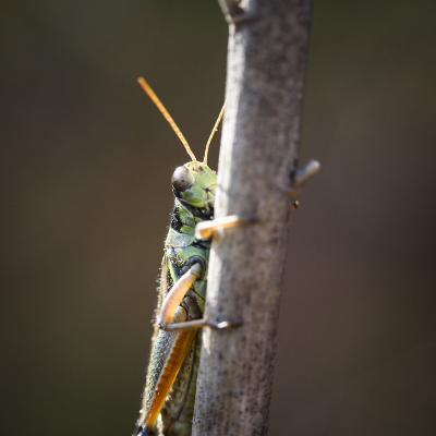 Close-Up of an Adult American Bird Grasshopper, Schistocerca Americana