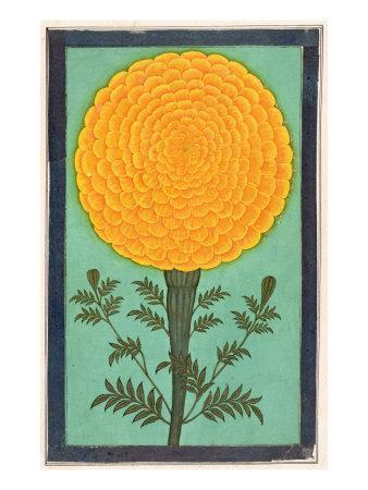 A Marigold, from the Small Clive Album
