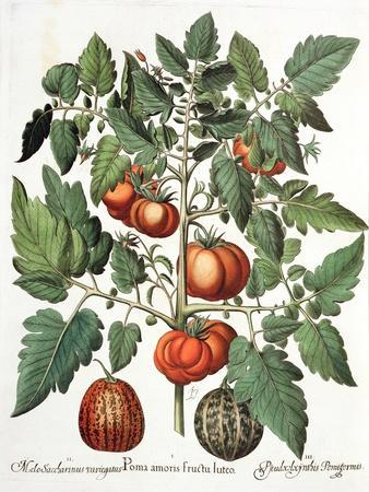 Tomatoes and Melons from the 'Hortus Eystettensis' by Basil Besler