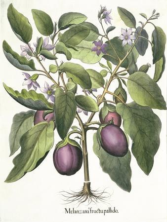 Aubergine: Melanzana fructu pallido, from the 'Hortus Eystettensis' by Basil Besler