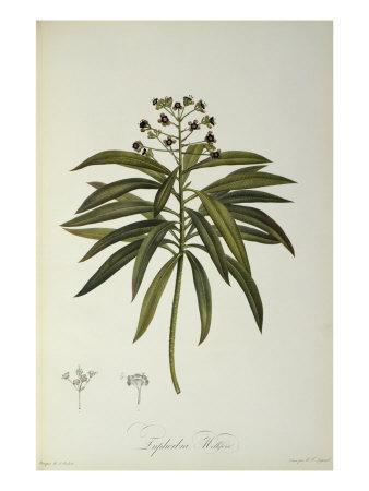 Euphorbia Mellifera, from `Le Jardin de la Malmaison', 1802