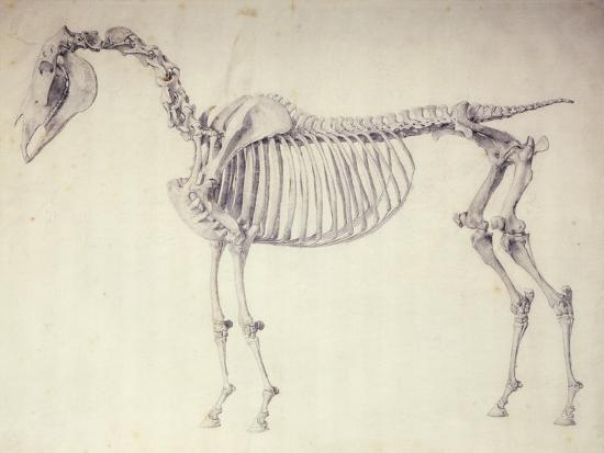 Fifth Anatomical Table From The Anatomy Of The Horse Giclee Print