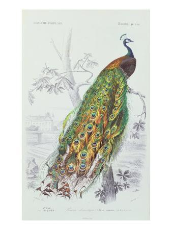 The Peacock, Illustration from 'Dictionnaire Universel d'Histoire Naturelle' by Charles d'Orbigny,