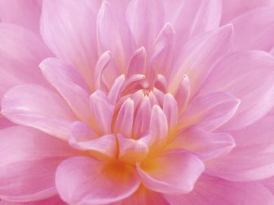 Still Life Photograph, Close-Up of Pink Dahlia