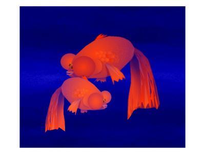 Two Bubble Eye Goldfish on Blue Background