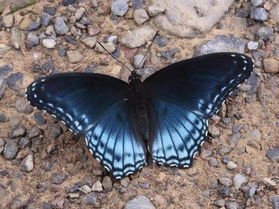 Red Spotted Purple Butterfly Eating Minerals from the Ground