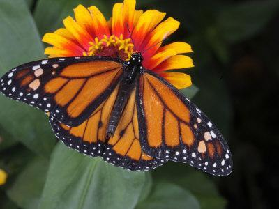 Monarch Butterfly, Danaus Plexippus, on a Flower