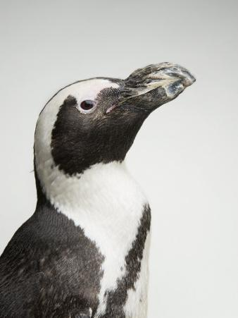 African Penguin, also Called a Black-Footed or Jackass Penguin