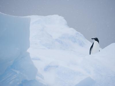 Adelie Penguin, Pygoscelis Adeliae, on Blue Ice at Brown Bluff