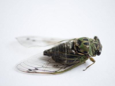 Annual Cicada or Dog-Day Cicada, Tibicen Canicularis
