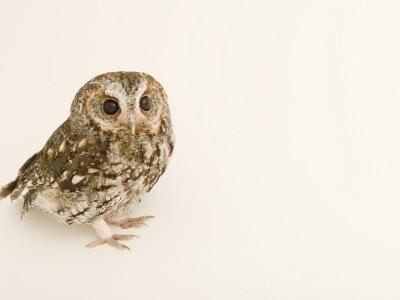 Flammulated Owl, Otus Flammeolus