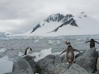 Three Adelie Penguins, Pygoscelis Adeliae, in Antarctica