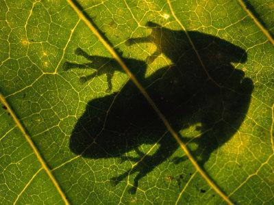 Backlit View of a Tree Frog Photographed Through a Genipap Tree Leaf