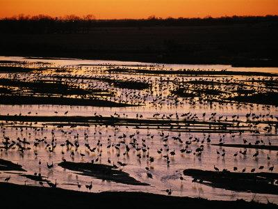 Sandhill Cranes Roost Along the Platte River in Nebraska